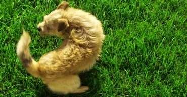 por qué los perros persiguen su cola