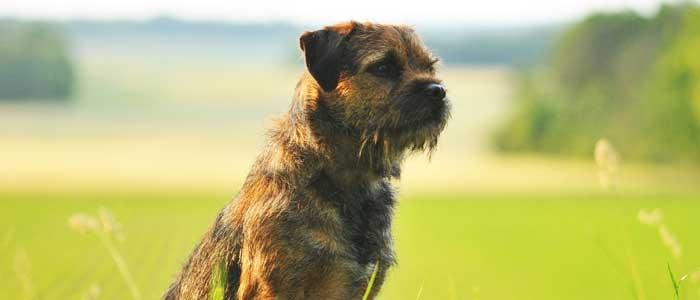 razas fáciles de adiestrar Border Terrier