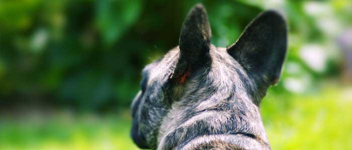 otitis en los perros razas