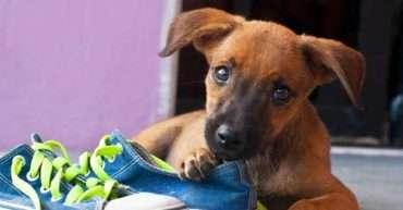 prevenir que tu perro muerda de manera destructiva los objetos de la casa