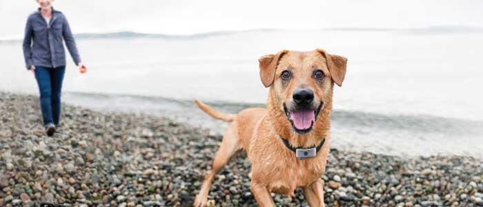 Collar antiladridos para perros ¿Cuál comprar? (Guía de compra 2017)