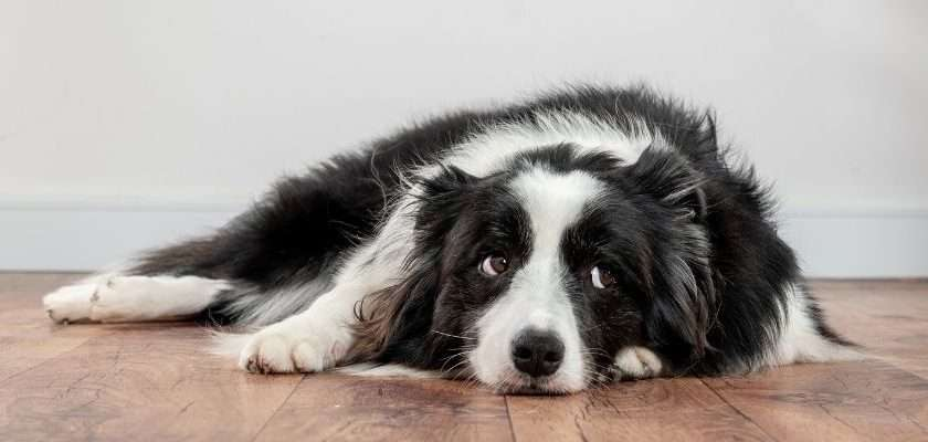 perro esperando tiempo solo en casa